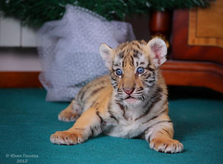 Тигрята приёмыши в Сочи 205407-0a45c-62840026-m750x740-u24461