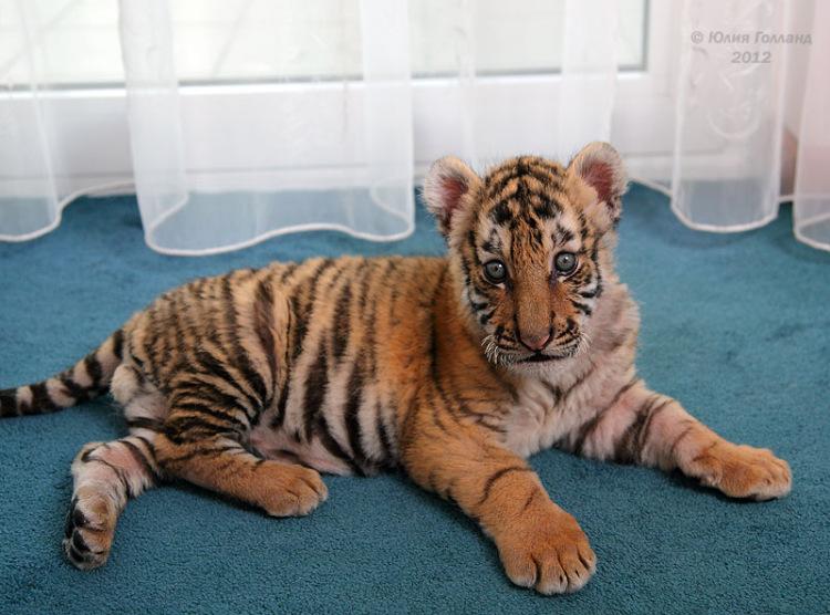 Тигрята приёмыши в Сочи 205407-3fbc0-62839977-m750x740-u737db