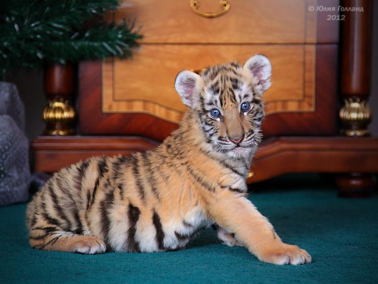 Тигрята приёмыши в Сочи 205407-7d432-62840032-m750x740-ucd13c