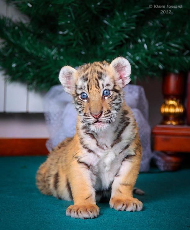 Тигрята приёмыши в Сочи 205407-8e5df-62840023-m750x740-uc9ba8