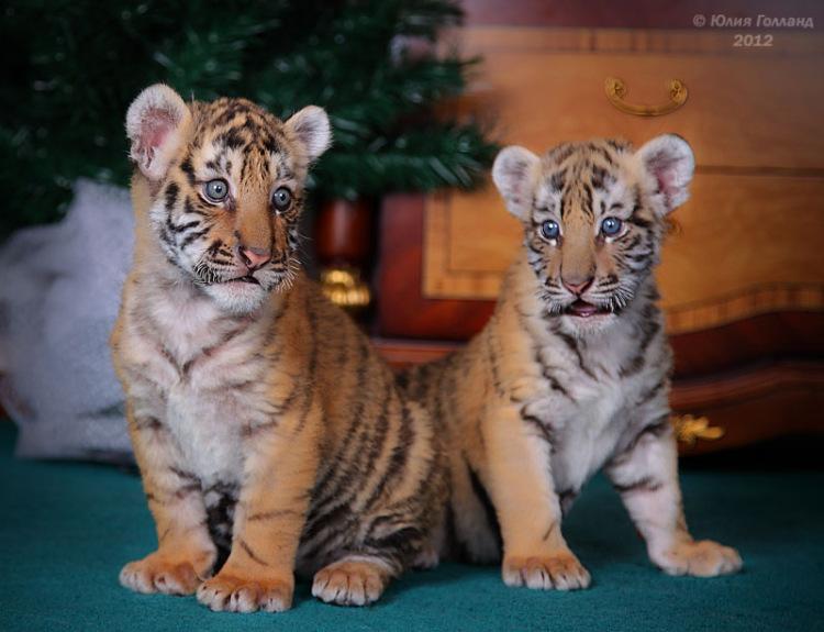 Тигрята приёмыши в Сочи 205407-c91a5-62840033-m750x740-ub89d2