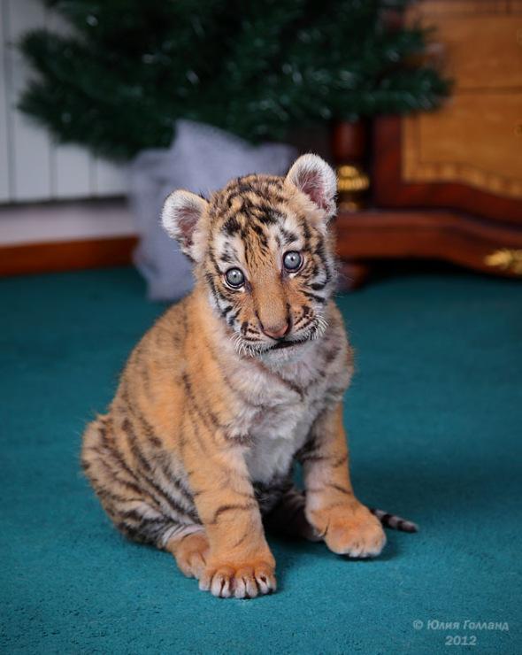Тигрята приёмыши в Сочи 205407-d86d8-62839988-m750x740-u6ce2b