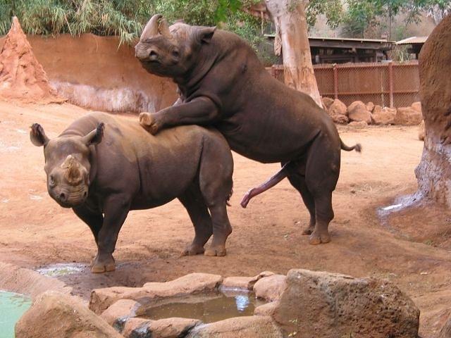 seks-nosoroga-video